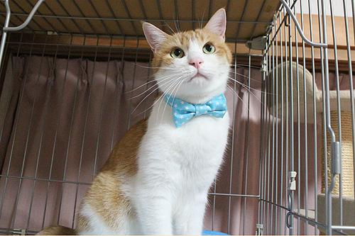 猫のおしゃれリボン首輪、をちび店員