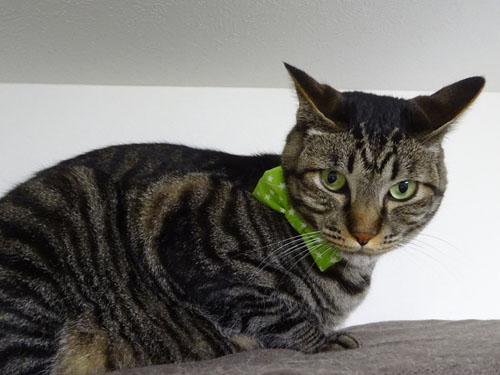 猫のおしゃれリボン首輪、スター柄、グリーン