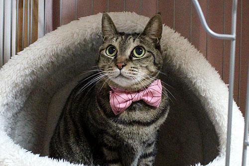 めぐ店員、麻の葉模様、猫のリボン首輪