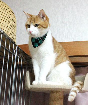 をちび店員、猫のバンダナ、市松模様