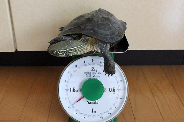 かめき千代 体重:1290g