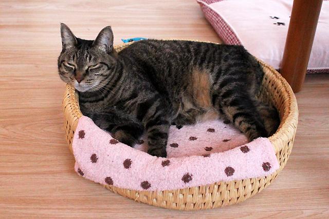 猫つぐら丸型なかよしベッドでお昼寝猫おめぐさん
