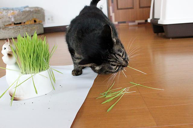 猫草はむっと