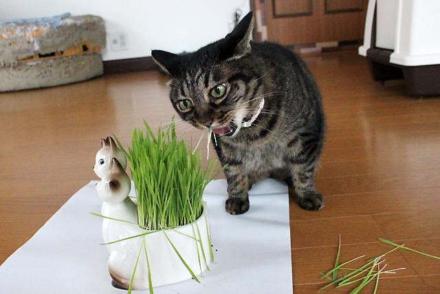 猫草あがぁ~