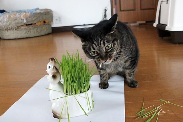 猫草むぐっと
