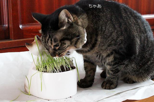短くカットされた猫草