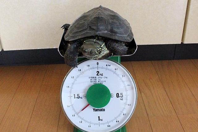 かめき千代 体重:1280g