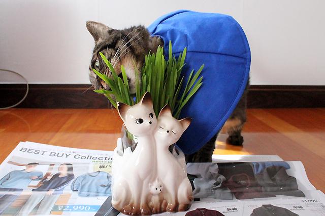 ちゃあさん猫草