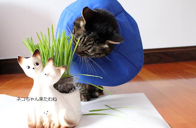 ちゃあさん猫草大好き