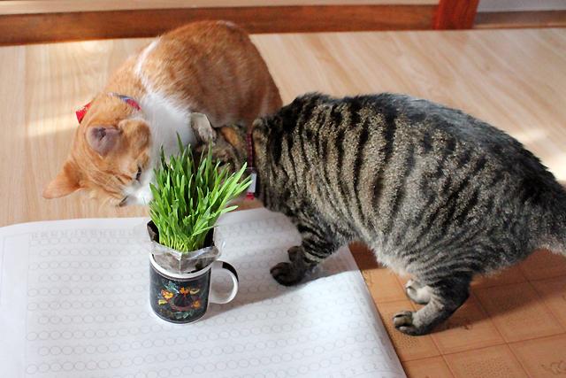 おめぐさんとをちびにも猫草ね~