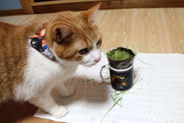 猫草ショートカット
