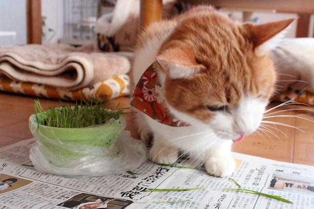 ショートカット猫草