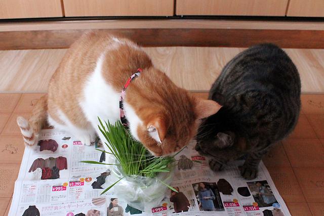 めぐとをちびにも猫草