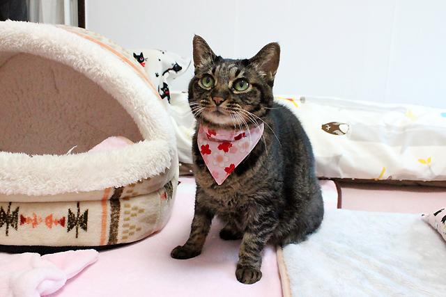 猫のおしゃれバンダナ「桜さくら」