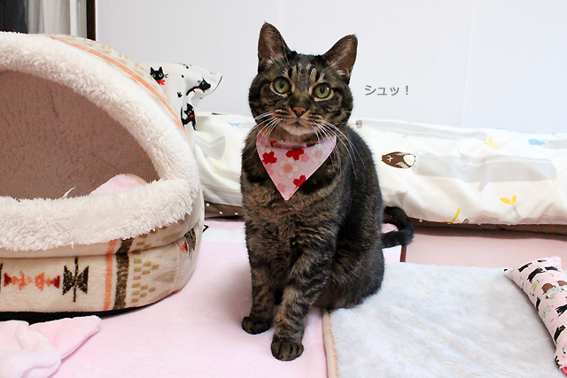 猫堂専属モデルちゃあさん