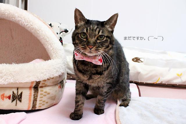 猫のおしゃれリボン「桜さくら」