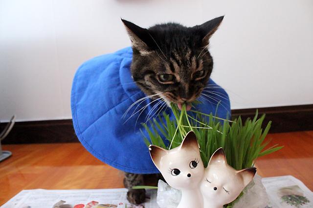 猫草大好き猫