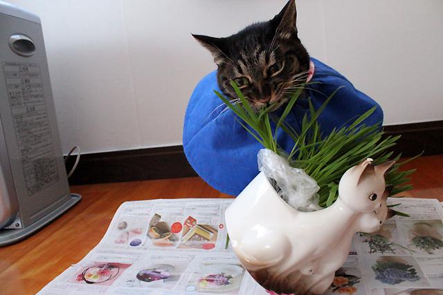 猫草~~~