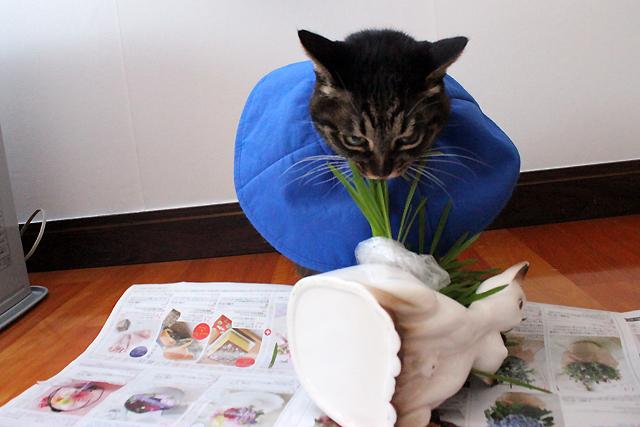 倒れる猫草