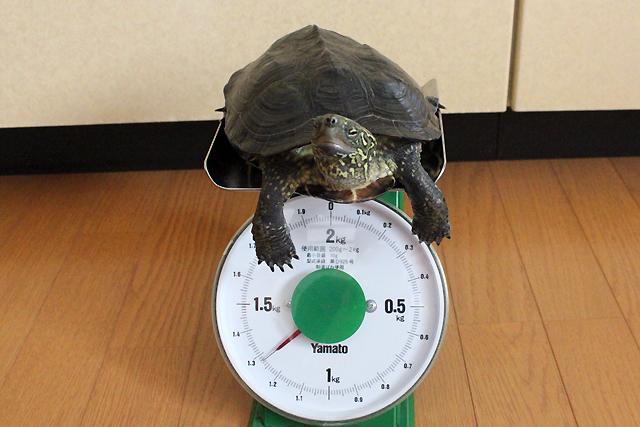 かめき千代 体重:1275g