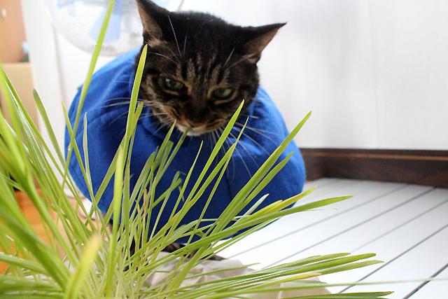 猫草大好きちゃあさん
