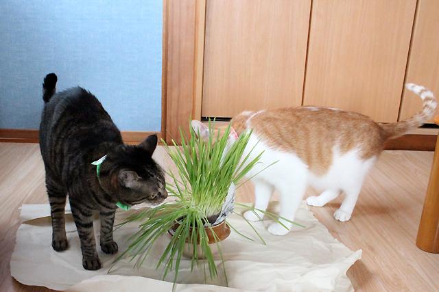 猫草、おめぐさんとをちびにも