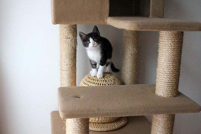 保護子猫リコちゃん、里親募集中