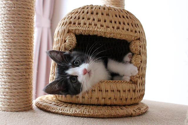 小さい猫つぐら(猫ちぐら)に入る子猫