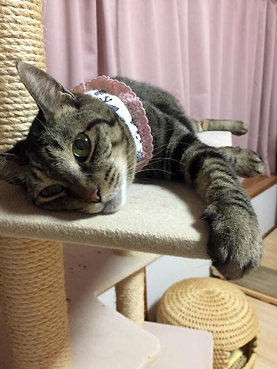 キャットタワーで寝る猫おめぐさん