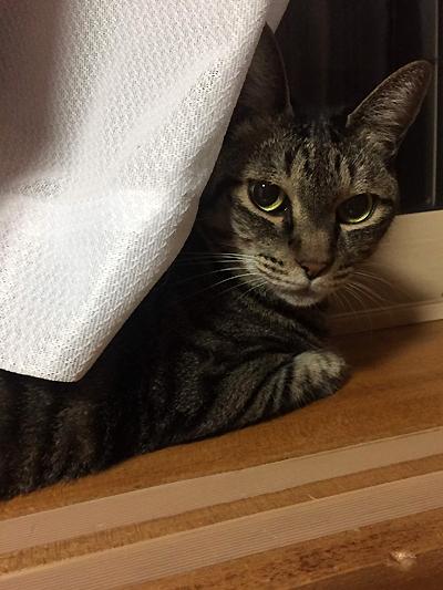 カーテンの向こうで寝る猫おめぐさん