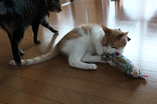 またたび入り手作りキッカー「キャットコミックス」で遊ぶ猫をちび