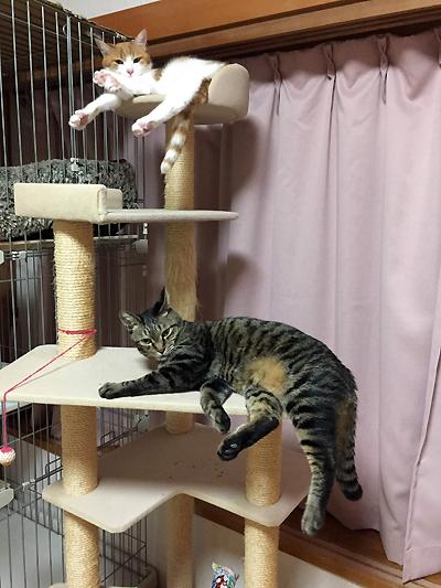キャットタワーで寝ます