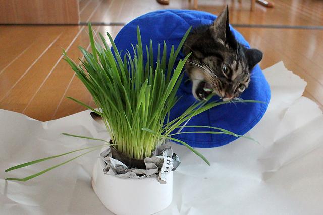 猫草を食べる猫ちゃあさん