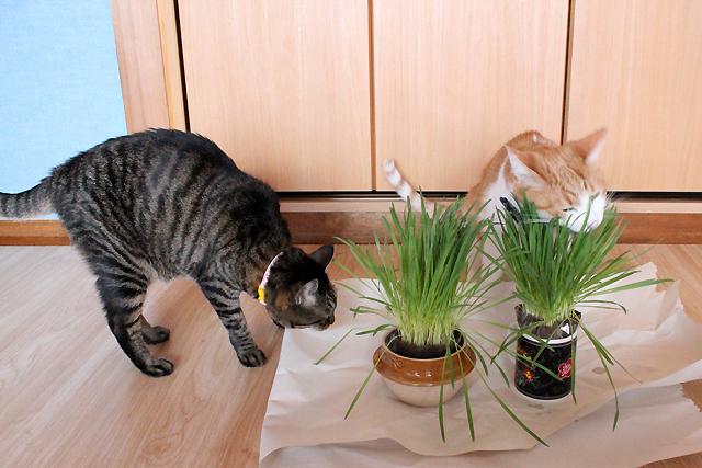 おめぐさんとをちびも猫草