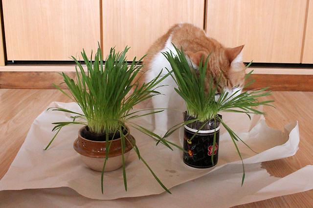 猫草大好きをちび