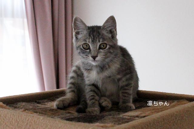 保護子猫、凛ちゃん 体重:1.25㎏
