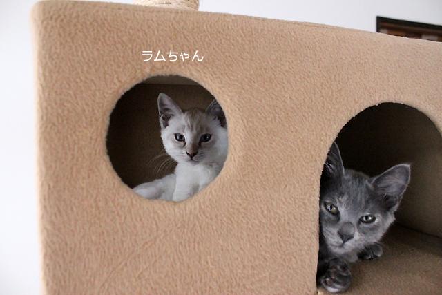 保護子猫、ラムちゃん 体重:1.38㎏