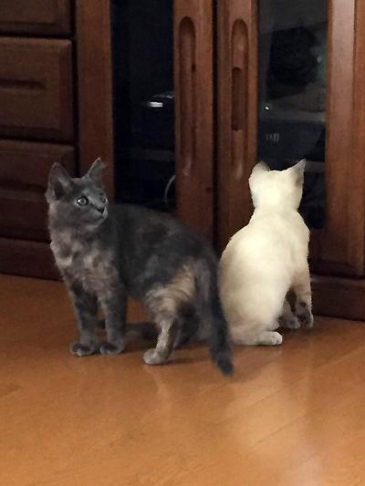 保護子猫、麦ちゃん 体重:1.39㎏
