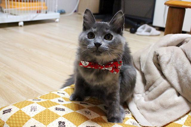 猫の首輪用、付け替えリボンクリスマス柄、子猫にも!