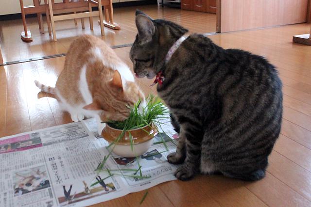 猫草大好き!
