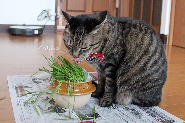 ゆっくり猫草♪