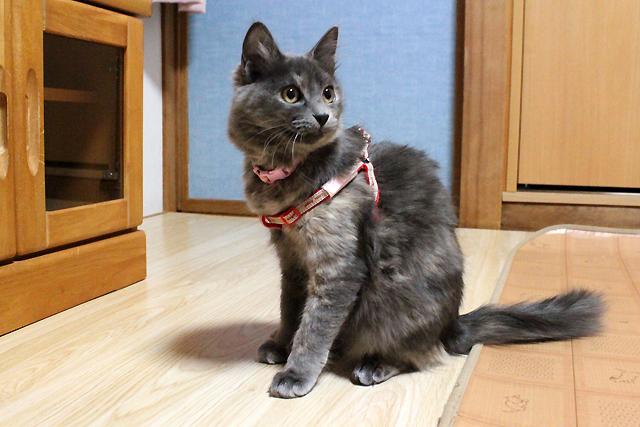 保護猫麦ちゃん 体重2.5kg