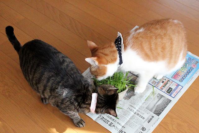 めぐとをちびも猫草