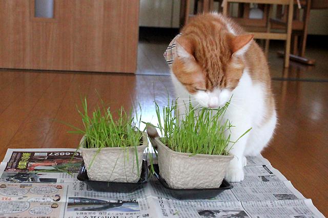 ファンキー猫草