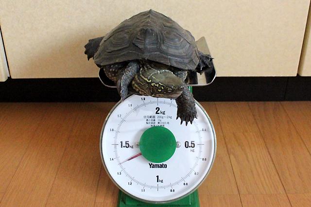 かめき千代 体重:1350g