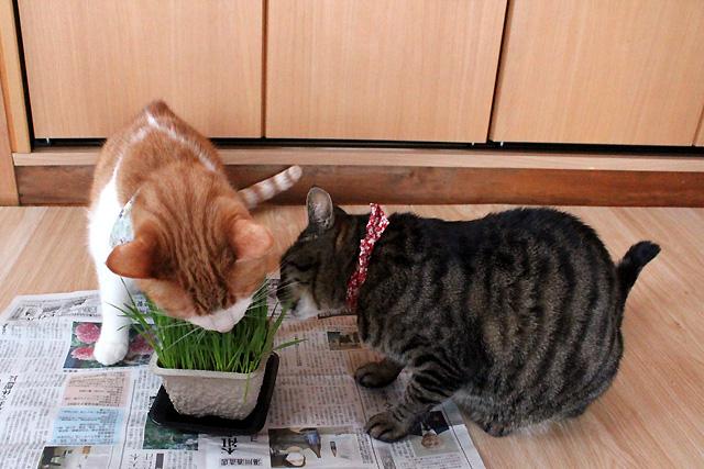 おめぐさんとをちびに猫草
