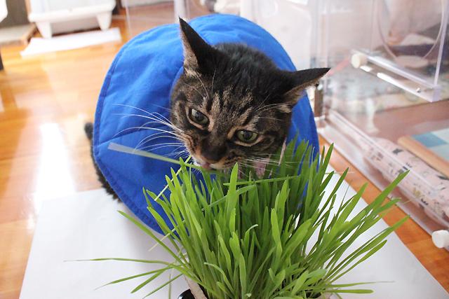 ちゃあさんに猫草