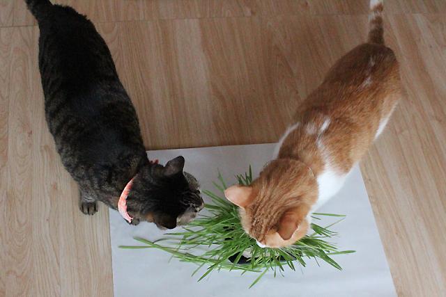 おめぐさんとをちびに猫草!