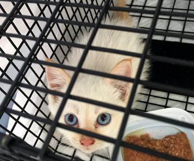 子猫保護のための捕獲ー白