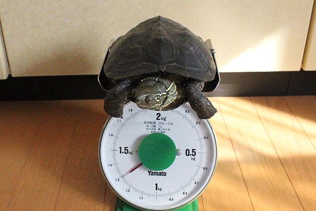 かめき千代 体重:1285g